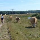 Kühe am Elsterradweg