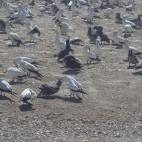 Die Tölpelkolonie in Lamperts Bay, die dunklen Vögel sind Jungtiere.