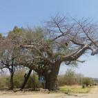 In der Nähe von Wasserläufen stehen oft gewaltige Baobabs
