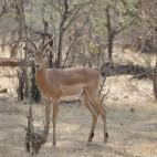 Im Gegensatz zum Etosha haben die Impalas hier schwarze Stiefelchen an.