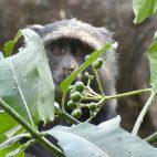 Schade-die Beeren sind noch nicht reif! Ein Blue Monkey auf Futtersuche.