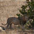 ... schleppen sich Löwen träge dorchs Gras...