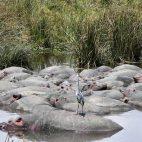 ... und Hippos dösen vor sich hin.