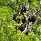 In den Bäumen schlafen Flughunde. Sie sind nicht gern gesehen, da sie die Früchte wegfressen.