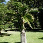 Ein besonders schönes Exemplar einer Flaschenpalme, die in dieser Form nur auf Mauritius wächst.