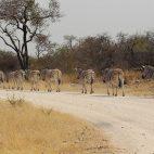 Zebraparade im Etosha