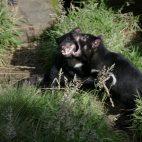 Die tasmanischen Teufel balgen sich gern untereinander. Da der Gesichtskrebs hochansteckend ist, sind alle Tiere stark in ihrem Fortbestand gefährdet.