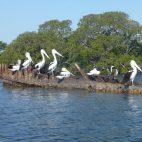 … und vorbei an längst versunkenen Schiffen im Delta des Myall River…