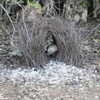 Der Laubenvogel ist den ganzen Tag mit der Pflege seines aufwändig gestalteten Nestes beschäftigt. Dankbar nahm er ein von uns spendiertes Kügelchen aus Silberpapier in seine Schätze mit auf.