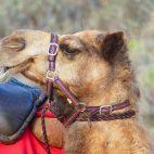 Am Cable Beach in Broome können allabendlich Kamele auf Kamelen in den Sonnenuntergang reiten.