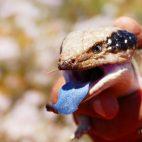 Drohend zeigt der Tannenzapfenskink seine blaue Zunge.